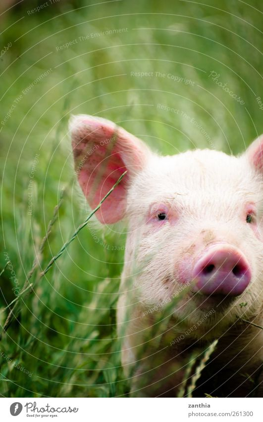 piggy Animal Farm animal Swine Piglet 1 Baby animal Looking Stand Green Pink Adventure Discover Idyll Nature New Zealand North Island Rural Nose Pig's ear Sow