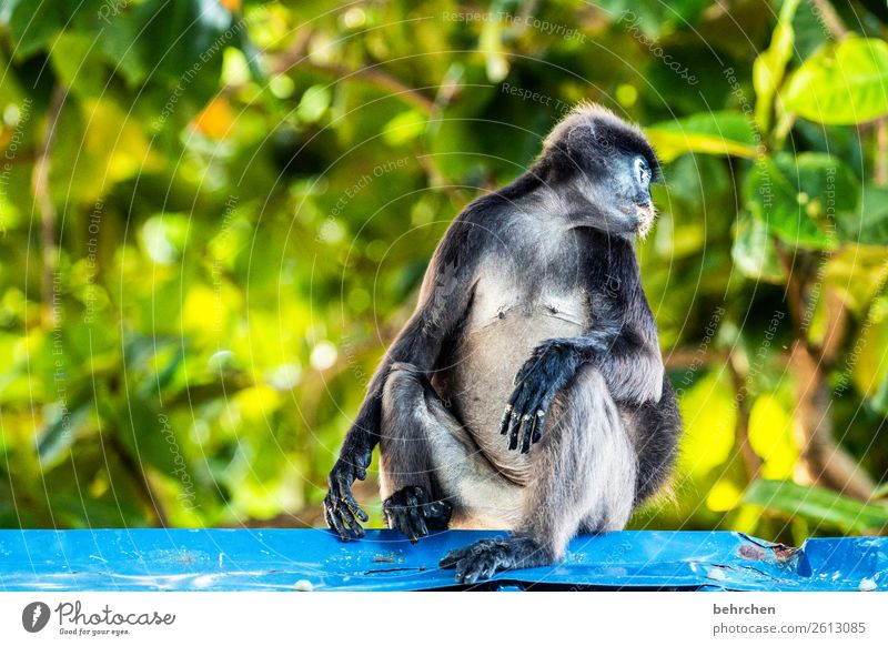 shoulder look Vacation & Travel Tourism Trip Adventure Far-off places Freedom Nature Tree Leaf Virgin forest Wild animal Animal face Pelt Monkeys