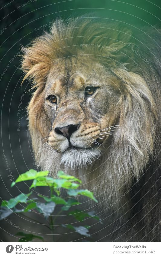 Close up portrait of male African lion Nature Plant Animal Wild animal Animal face Zoo 1 Curiosity Green Lion Lion's mane Snout Head Eyes Self-confident Staring