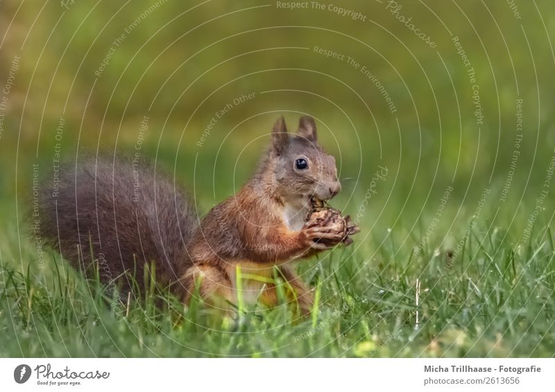 Eating squirrel in the meadow Fruit Walnut Nature Animal Sunlight Beautiful weather Grass Meadow Wild animal Animal face Pelt Claw Paw Squirrel Rodent 1 To feed