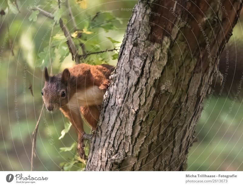 Curious squirrel in a tree Nature Animal Sunlight Beautiful weather Tree Leaf Forest Wild animal Animal face Pelt Claw Paw Squirrel Rodent 1 Observe Hang