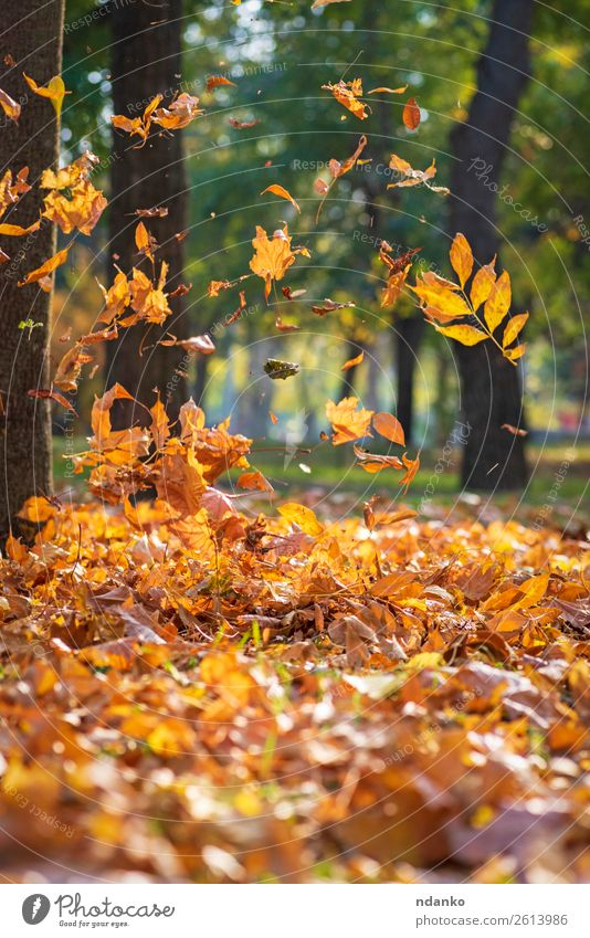 falling yellow maple leaves Sun Environment Nature Plant Autumn Tree Leaf Park Forest Movement To fall Vacation & Travel Bright Natural Yellow Gold Green Colour