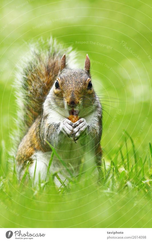 cute grey squirrel eating nut Eating Beautiful Face Garden Nature Animal Autumn Park Forest Fur coat Small Natural Cute Wild Brown Gray Green Squirrel sciurus