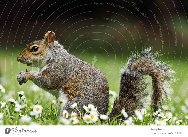 cute grey squirrel eating on lawn Eating Beautiful Garden Nature Animal Grass Park Meadow Forest Fur coat Feeding Stand Small Funny Natural Cute Wild Brown Gray