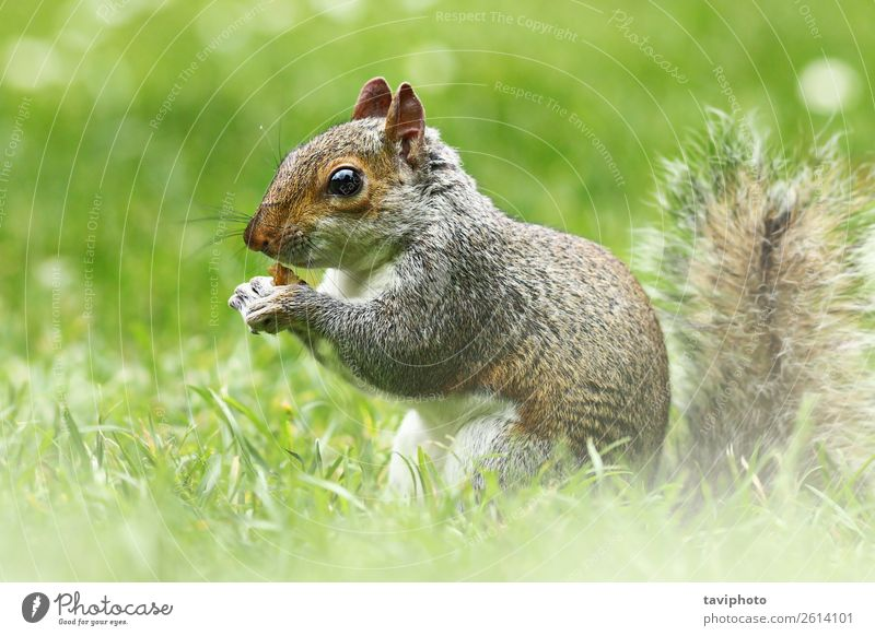 cute grey squirrel in the grass Eating Beautiful Garden Nature Animal Grass Park Forest Fur coat Wild animal Feeding Sit Small Funny Natural Cute Brown Gray