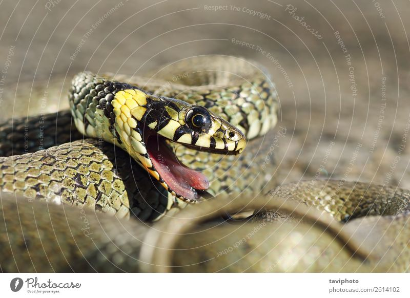 detail of grass snake with open mouth Beautiful Garden Mouth Environment Nature Animal Grass Snake Natural Wild Brown Gray Green Black Fear Dangerous Colour