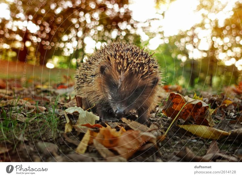 Don't stroke me! Nutrition Slow food Hunting Environment Nature Plant Animal Sunlight Autumn Bushes Leaf Garden Park Meadow Field Forest Wild animal Hedgehog 1