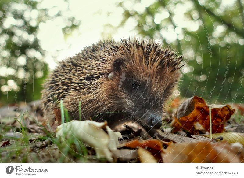 Collectors and hunters Nature Animal Earth Wild animal Hedgehog Spine 1 To feed Freeze Cute Brown Timidity Voracious Autumn Thorny Leaf Ground Park Grass Search
