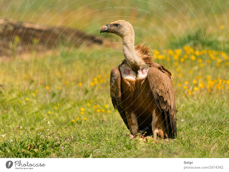 Portrait of a young vulture in the nature Face Zoo Nature Animal Bird Old Stand Large Natural Strong Wild Blue Brown Black White wildlife Vulture Scavenger Beak