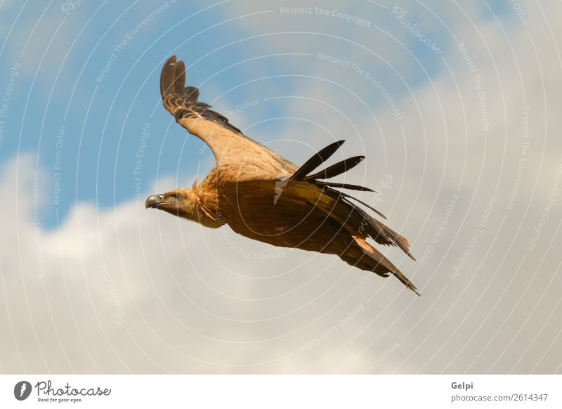 Big vulture in flight with a cloudy sky of background Face Nature Animal Sky Clouds Bird Flying Large Natural Strong Wild Black White wildlife Vulture landing