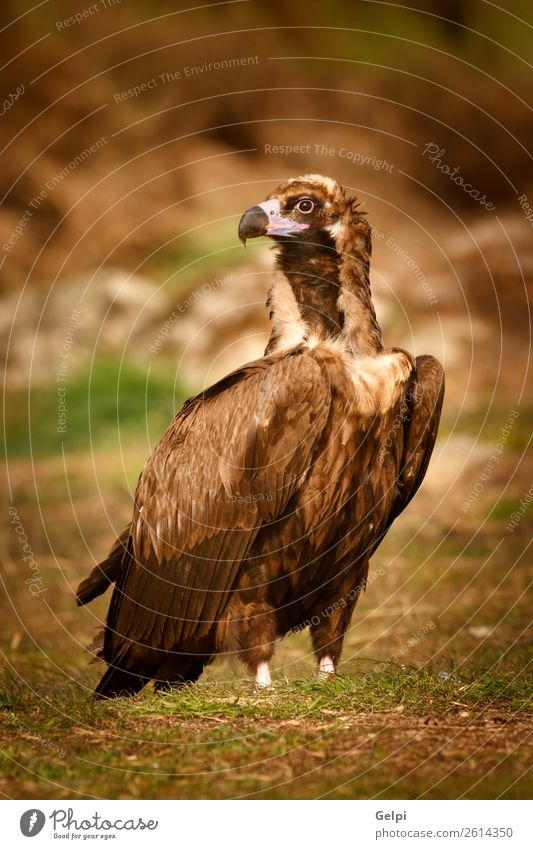 The majestic wild black vulture in its habitat Face Zoo Nature Animal Bird Old Stand Large Natural Strong Wild Blue Brown Black White wildlife Vulture Scavenger
