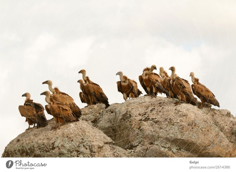 Vultures on a big rock with the cloudy sky in the background Nature Old Blue White Animal Black Face Natural Group Stone Bird Brown Wild Vantage point Europe