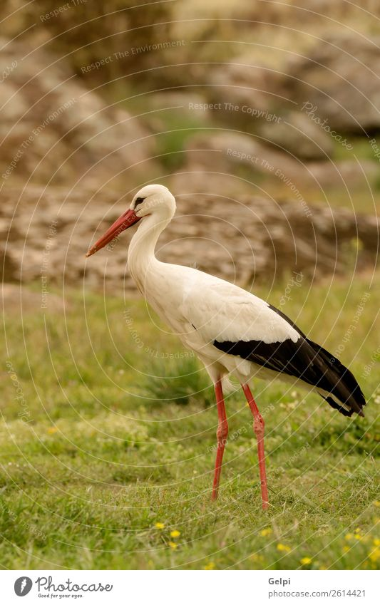 Elegant white stork walking in the field Beautiful Freedom Couple Adults Nature Animal Wind Flower Grass Bird Flying Long Wild Blue Green Red Black White Colour