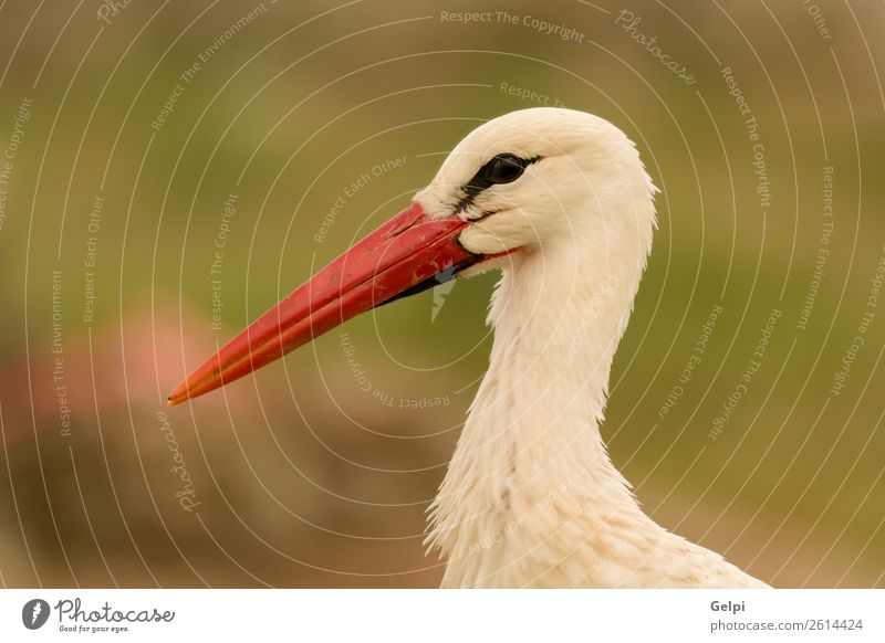 Portrait of a elegant stork on a natural background Nature Blue Colour Beautiful Green White Red Animal Black Adults Family & Relations Grass Couple Freedom