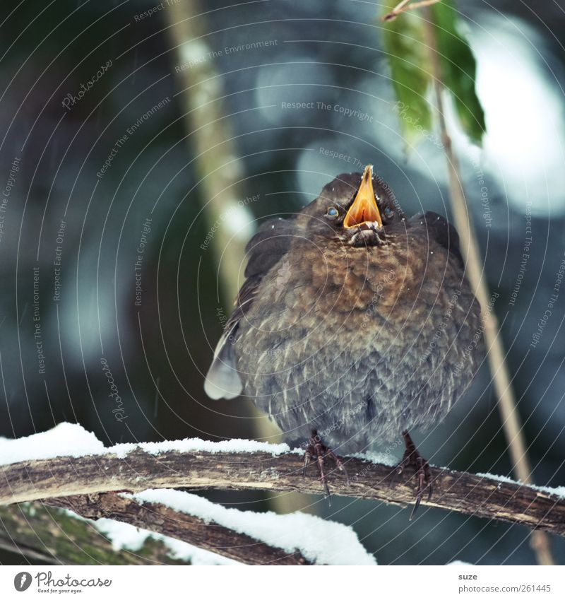 Nature Animal Winter Environment Baby animal Snow Funny Bird Wild animal Authentic Cute Feather Branch Twig Fat Scream