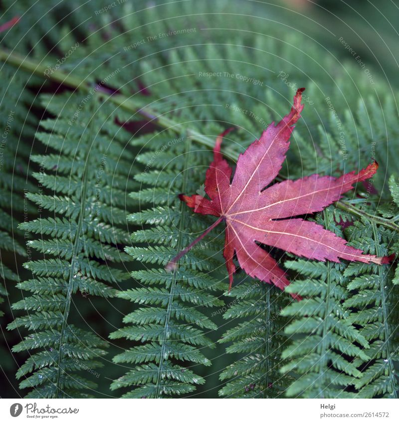 leaf on leaf Environment Nature Plant Autumn Fern Leaf Wild plant Maple leaf Rachis Park Lie To dry up Exceptional Uniqueness Natural Green Red Moody Life Calm