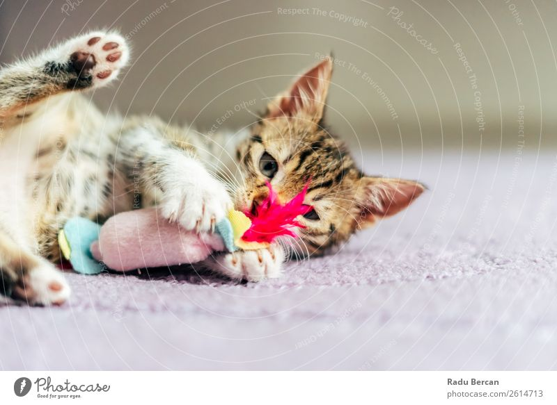 Cute Baby Cat Playing At Home White Animal Joy Baby animal Funny Small Pet Toys Mammal Delightful Animal face Striped