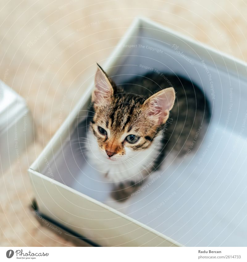 Cute Baby Cat In Small Box At Home Colour Beautiful White House (Residential Structure) Animal Baby animal Funny Brown Gray Sit Observe Friendliness Curiosity