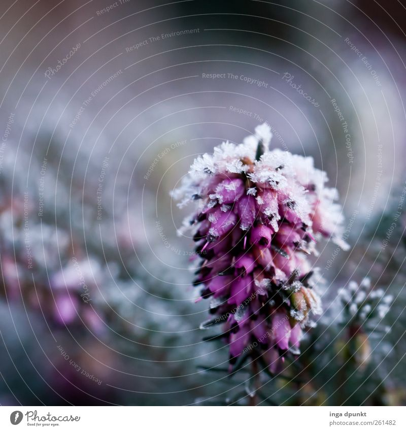 snow heath Environment Nature Landscape Plant Elements Winter Ice Frost Bushes Foliage plant Wild plant Heathland Heather family Dark Simple Cold Purity Sadness