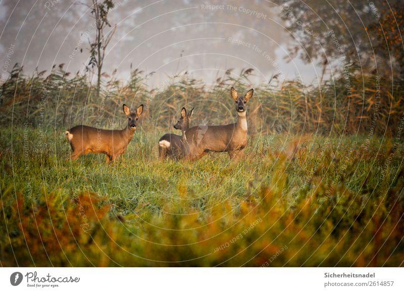 Three curious deer Nature Autumn Field Animal Wild animal Roe deer 3 Herd Curiosity Colour photo Exterior shot Deserted Morning Long shot Animal portrait