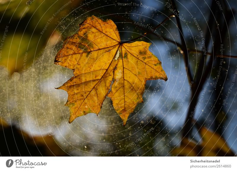 Autumn leaf in drizzle Nature Drops of water Sunrise Sunset Rain Plant Tree Leaf Maple tree Forest Illuminate Drizzle Autumn leaves October Colour photo