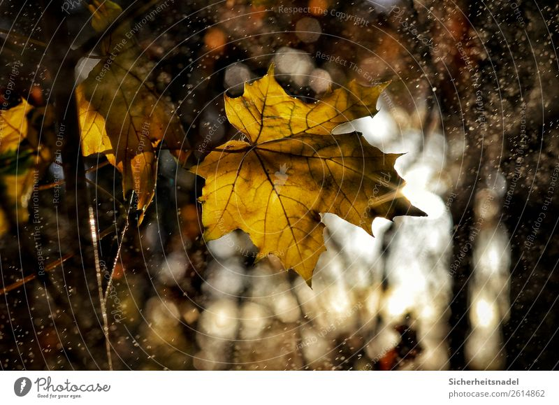 Maple leaf back light Nature Drops of water Sunrise Sunset Autumn Beautiful weather Rain Plant Tree Leaf Maple tree Forest To dry up Yellow Gold Drizzle October