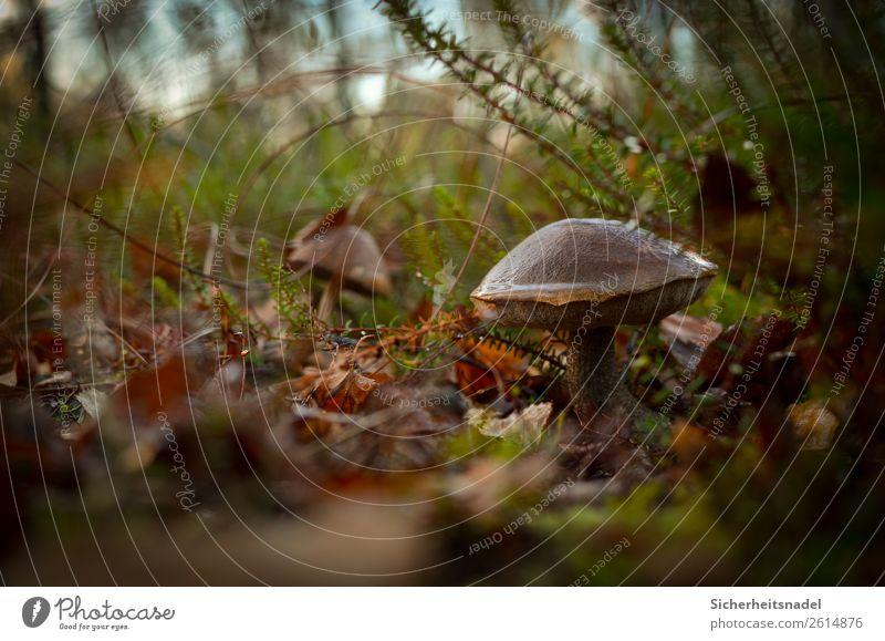 Birch mushroom II Nature Autumn Plant Moss Wild plant Mushroom birch mushroom Forest Calm Leaf Damp Colour photo Exterior shot Close-up Deserted Copy Space left
