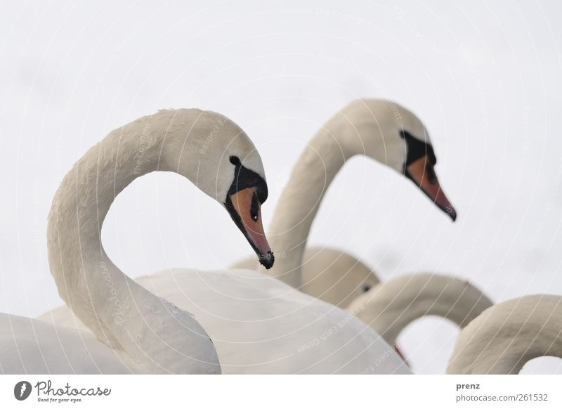 waves Nature Winter Snow Animal Wild animal Bird Swan 2 Group of animals Gray White Neck Head Wavy line Colour photo Exterior shot Copy Space top Day
