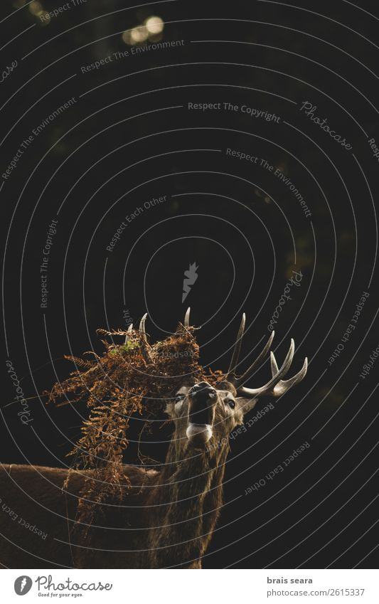 Red Deer Meat Hunter Biology Hunting Masculine Nature Animal Earth Autumn Bushes Forest Wild animal Animal face 1 Scream Dark Brown Yellow Love of animals Fear