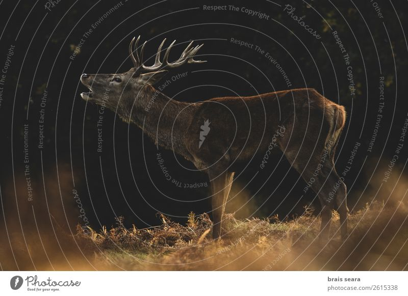 Red Deer Meat Hunter Biology Masculine Nature Animal Earth Autumn Grass Fern Forest Wild animal Red deer 1 Observe Stand Dark Natural Brown Yellow Willpower