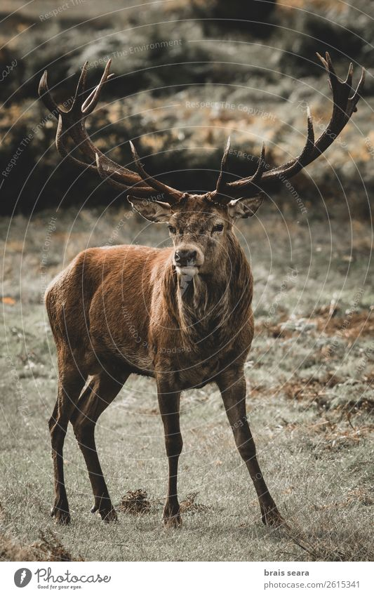 Red Deer Meat Adventure Safari Hunting Hunter Man Adults Nature Animal Earth Autumn Grass Forest Wild animal Red deer 1 Observe Stand Dark Natural Brown Yellow
