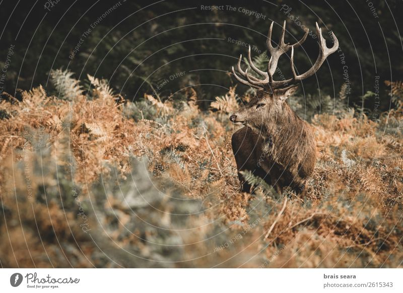 Red Deer Nature Colour Beautiful Animal Forest Dark Autumn Yellow Environment Earth Brown Wild Masculine Wild animal Stand