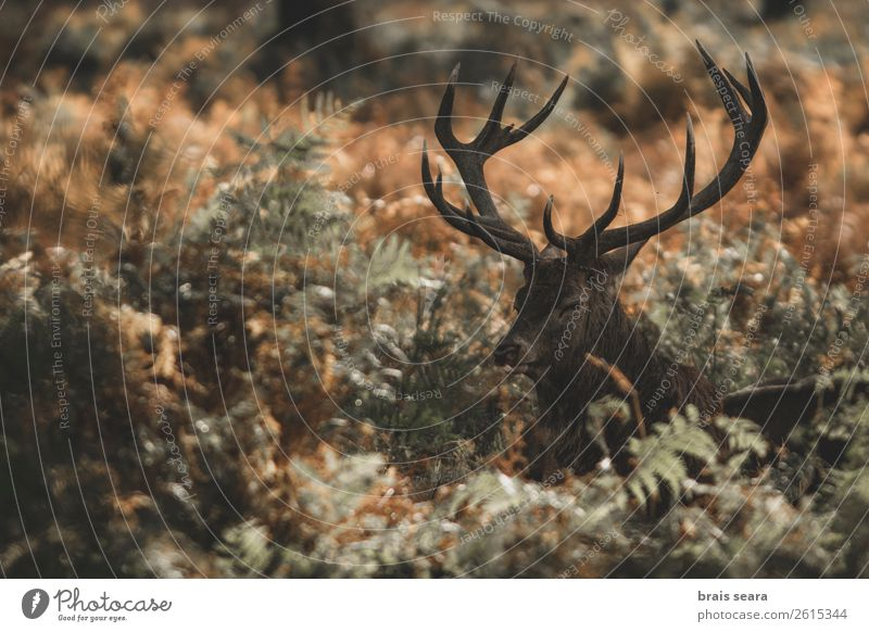 Red Deer Meat Safari Rifle Biology Hunter Masculine Nature Animal Earth Autumn Grass Park Forest Wild animal Animal face Red deer 1 Observe Stand Dark Brown