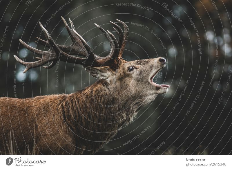 Red Deer Nature Colour Animal Forest Dark Autumn Yellow Environment Brown Wild Masculine Adventure Observe Mammal Hunting