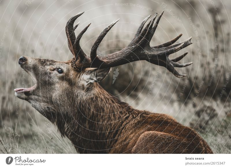 Red Deer Masculine Environment Nature Animal Autumn Grass Forest Wild animal Animal face Red deer 1 Rutting season Stand Dark Eroticism Brown Euphoria Willpower