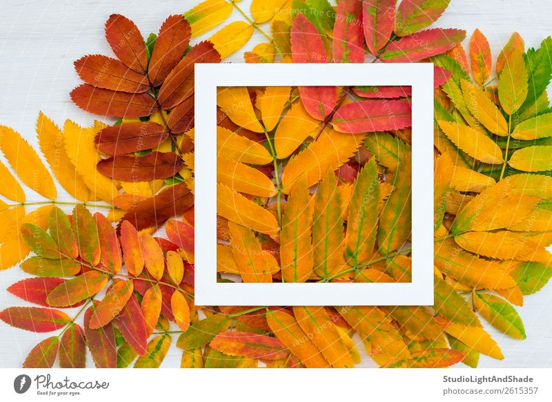 White square frame on colorful ashberry leaves background Design Beautiful Harmonious Leisure and hobbies Garden Decoration Art Exhibition Work of art