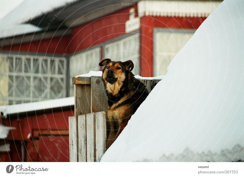 Here I wake. Pet Dog 1 Animal Looking Fence Wood Winter Cold Red Wauwau Protection Exterior shot Colour photo Copy Space right Day Contrast