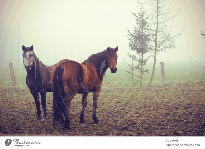 greetings by fog Environment Nature Autumn Winter Bad weather Fog Fir tree Field Animal Pet Farm animal Horse Group of animals Pair of animals Observe Looking