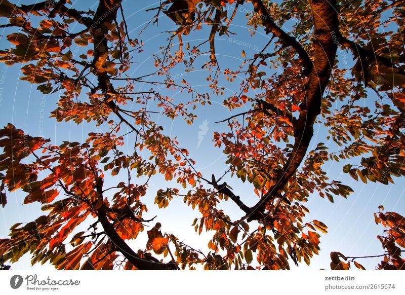 Cherry tree in November Autumn Leaf Autumn leaves Branch Tree Garden Sky Heaven Garden plot Garden allotments Deserted Nature Plant Calm Tree trunk Copy Space