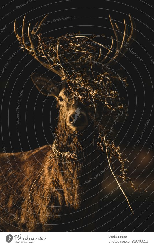 Red Deer Beautiful Hunter Masculine Nature Animal Earth Sunrise Sunset Autumn Fern Forest England Wild animal Animal face Red deer 1 Observe Stand Dark Brown