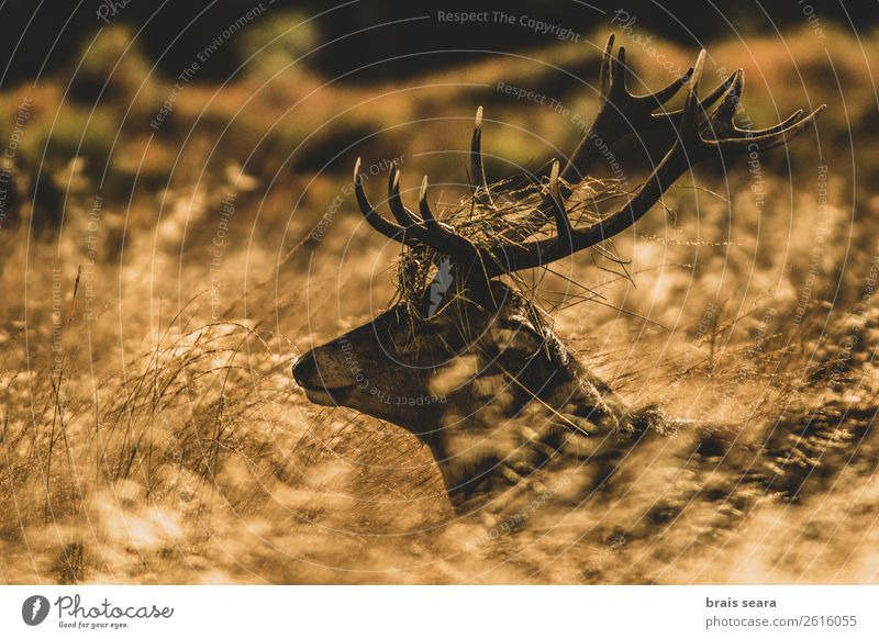 Red Deer Nature Beautiful Animal Forest Dark Autumn Yellow Environment Grass Earth Brown Wild Masculine Wild animal Stand Observe