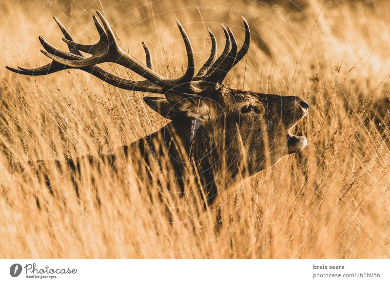 Red Deer Beautiful Masculine Nature Animal Earth Autumn Grass Forest Wild animal Animal face Red deer 1 Observe Stand Dark Brown Yellow Willpower Passion