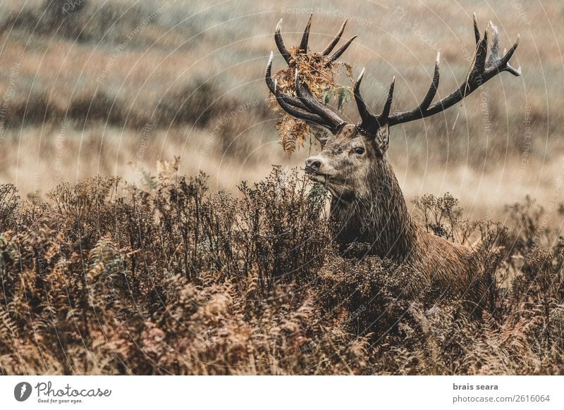 Red Deer Hunter Masculine Nature Animal Autumn Weather Rain Grass Fern Forest Wild animal Animal face Red deer 1 Observe Stand Dark Free Brown Love of animals