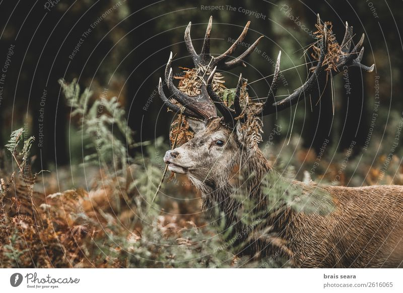 Red Deer Safari Hunter Masculine Nature Animal Earth Autumn Grass Fern Forest Wild animal Animal face Red deer 1 Stand Dark Brown Yellow Green Love of animals