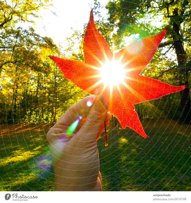 Nature Red Sun Hand Tree Leaf Autumn Environment