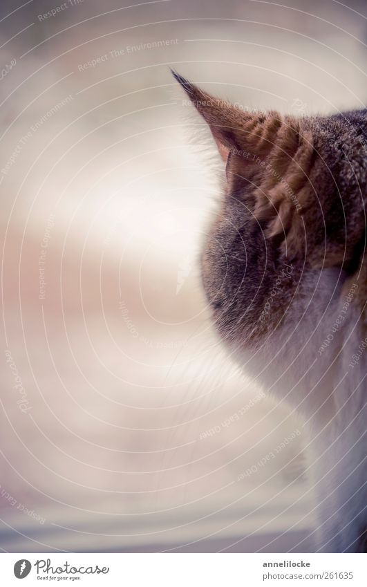longing Window Animal Pet Cat Pelt Ear Whisker Cuddly Soft Brown Moody Longing Wanderlust Calm Wait Looking Velvety Colour photo Subdued colour Interior shot