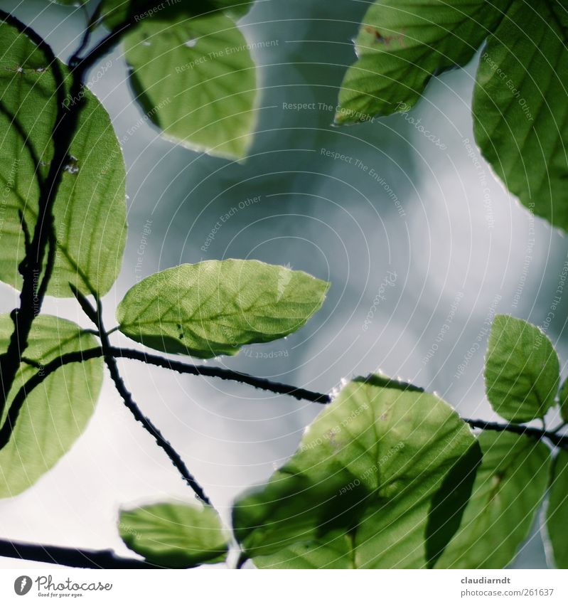 Nature Green Tree Plant Summer Leaf Life Park Growth Frame Twigs and branches Beech tree Translucent Beech leaf
