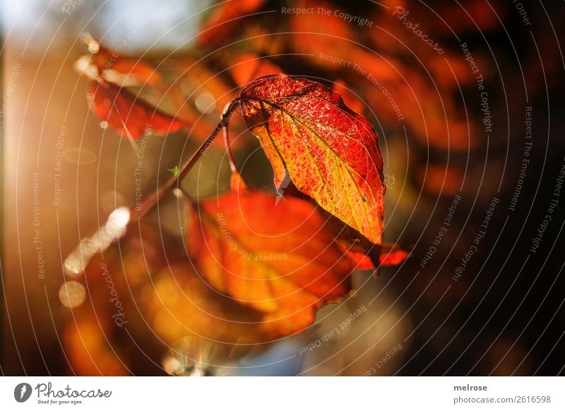 Bright leaves with bokeh Environment Nature Autumn Beautiful weather Plant Tree Leaf Foliage plant Twigs and branches coloured leaves Lakeside Blur