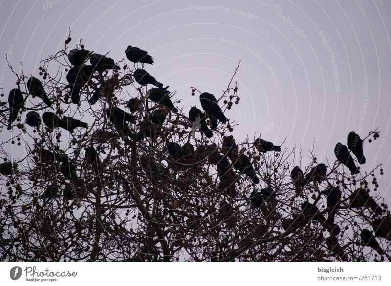 Tree Black Bird Sit Flock Crow