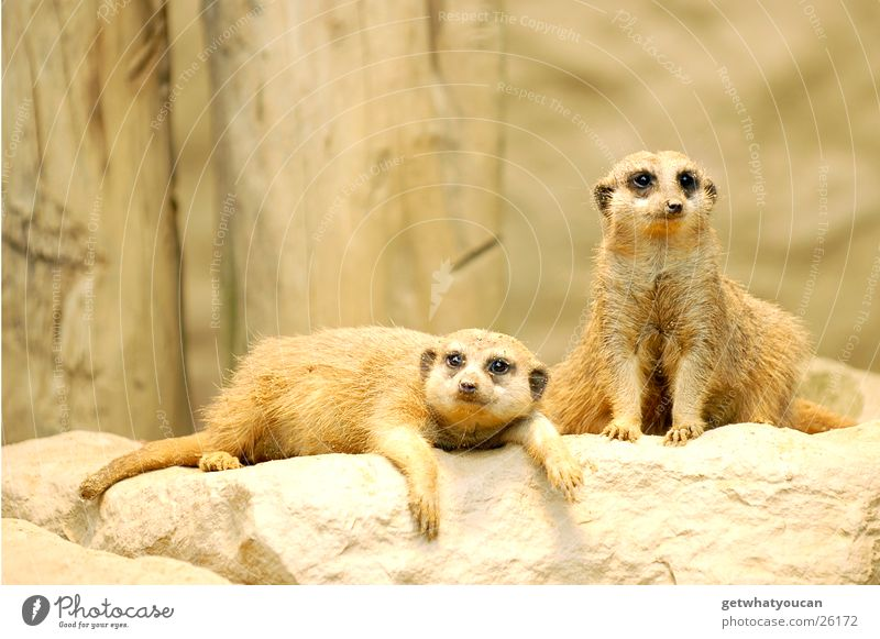 Animal Relaxation Stone Sand Sleep Zoo Enclosure Meerkat